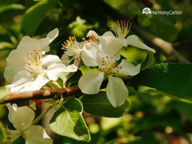appelbloesemtinctuur